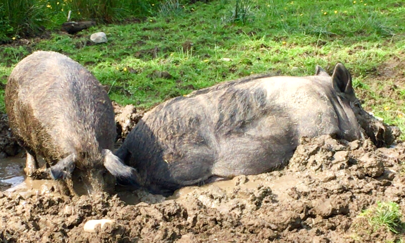 Wild boar at Sillfield Farm, Kendal, wallowing in a cooling mud bath.